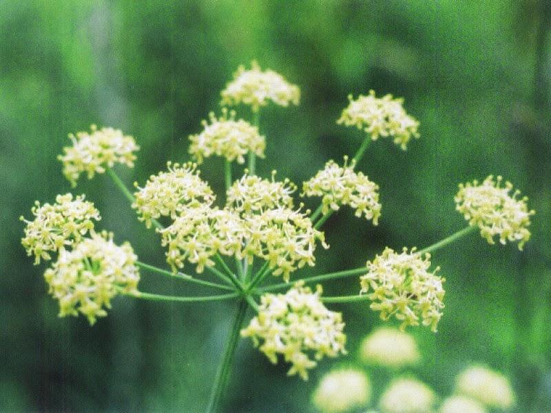 kwiat barszcz zwyczajny