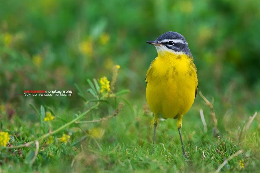 Yellow Wagtail - beema