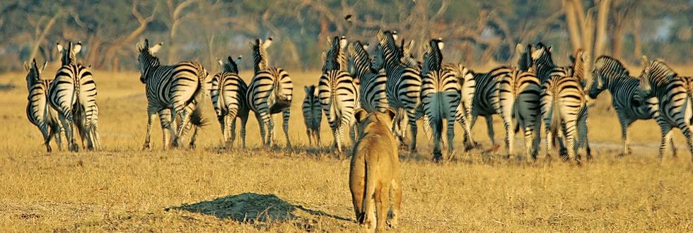אריה רודף זברות באפריקה