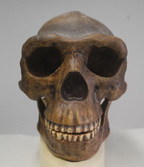 Homo Erectus Skulls Cast of a homo erectus skull Neanderthal 1