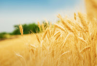 Wheat (Credit: Shutterstock) Click to Enlarge.