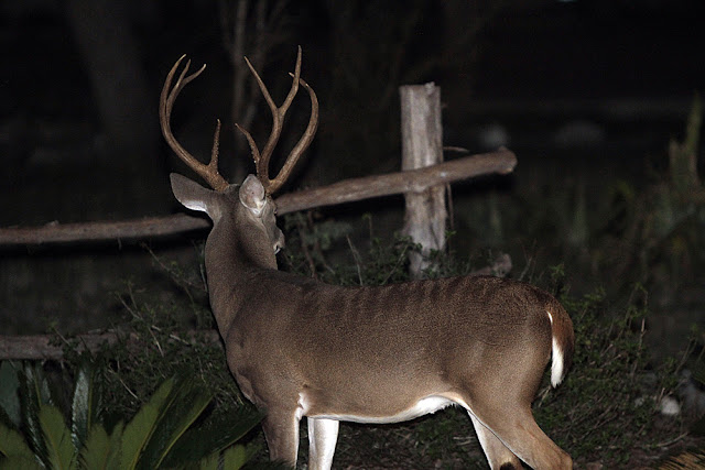 axis whitetail hybrid in New Braunfels?