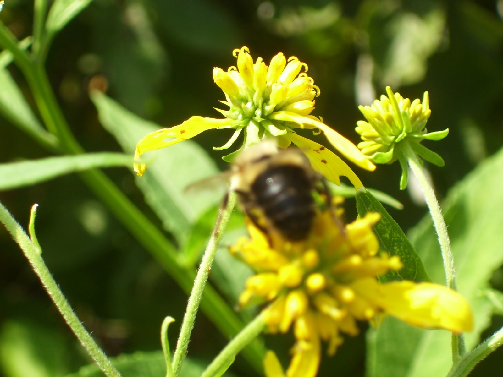 Native plants that attract bees Wingstem