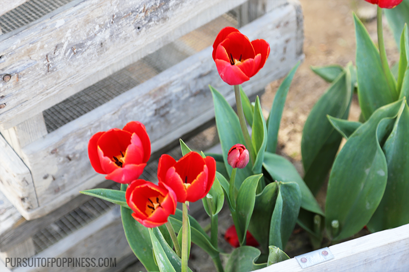 tulips next to a crate
