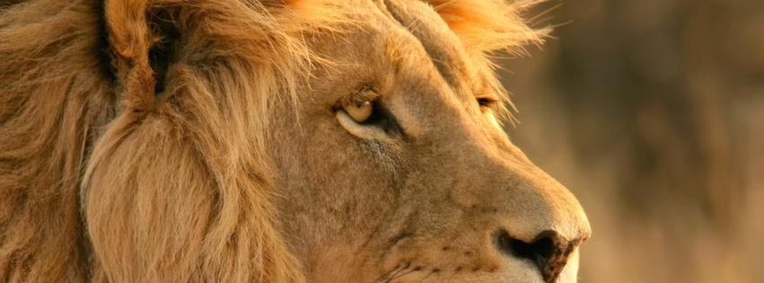Lion facebook cover