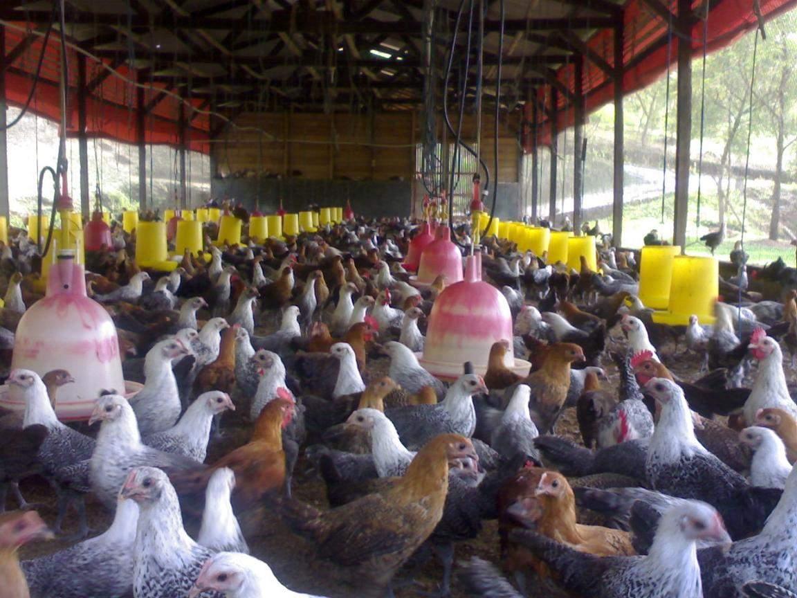 Ayam Kampung Pitosantai: Pembesaran Ayam Kampung