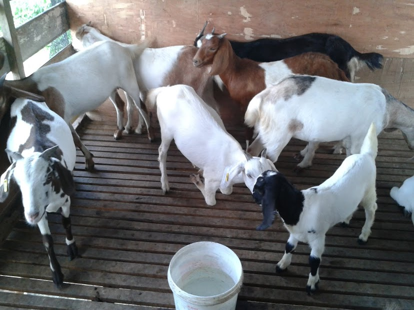 High Hill Goatfarm