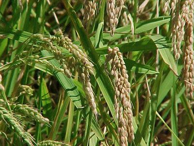 La cocina de luxo c mo cocinar el arroz how to cook rice for Como cocinar 5 kilos de arroz