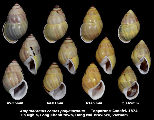 Amphidromus comes polymorphus 38.65 to 45.36mm (x4)