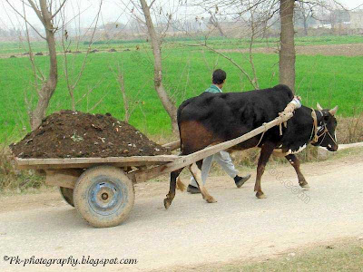 Ox Cart Pic