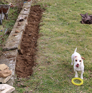 Flower bed dug, Thelma wants me to throw her toy
