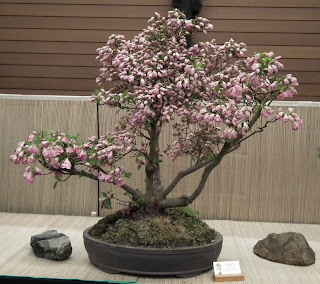Flowering satsuki azaleea bonsai - Spring Bonsai Show, Vandusen, Vancouver