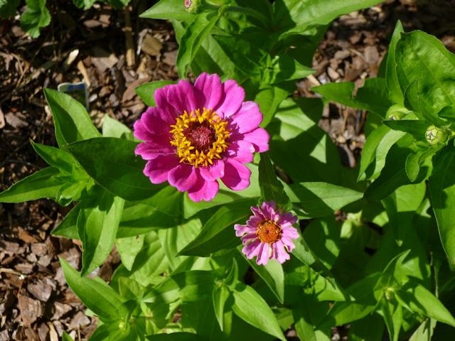 Self-sown Zinnia elegans