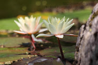 photo sur l'eau macro lotus
