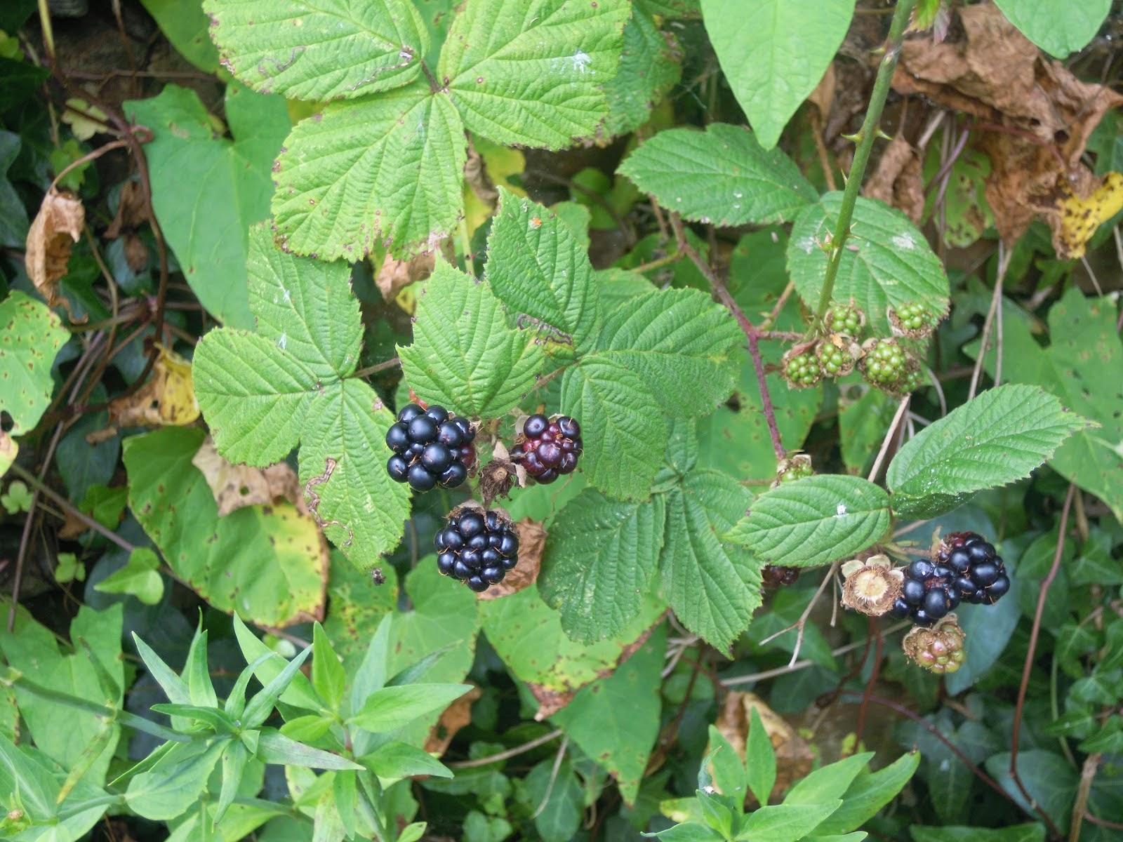 Blackberry leaf