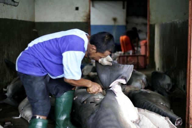 melihat kios pengepul hiu di banyuwangi aneka10