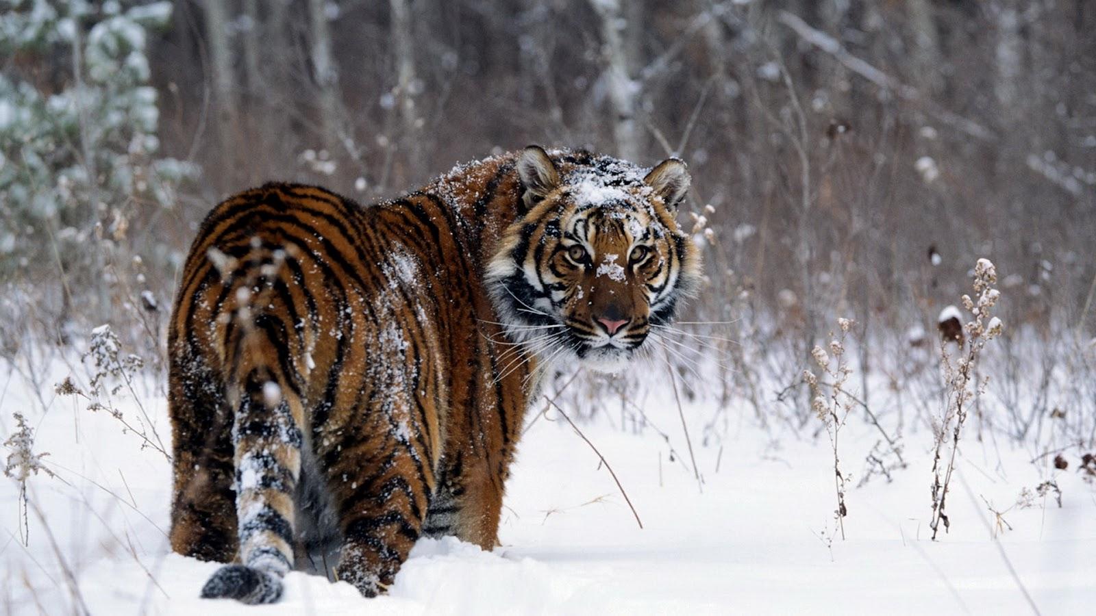 tiger wild snow - photo #7