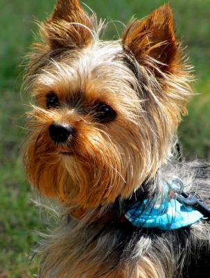hunde f r allergiker yorkshire terrier wer ist hier klein. Black Bedroom Furniture Sets. Home Design Ideas