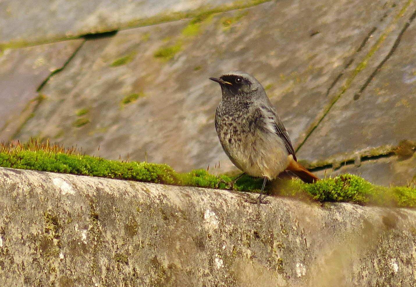 Black Redstart at Feathers, Salehurst, East Sussex