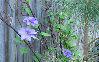 Annieinaustin, Ramona clematis, march 2011