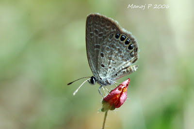 Southern Grass Jewel Butterfly