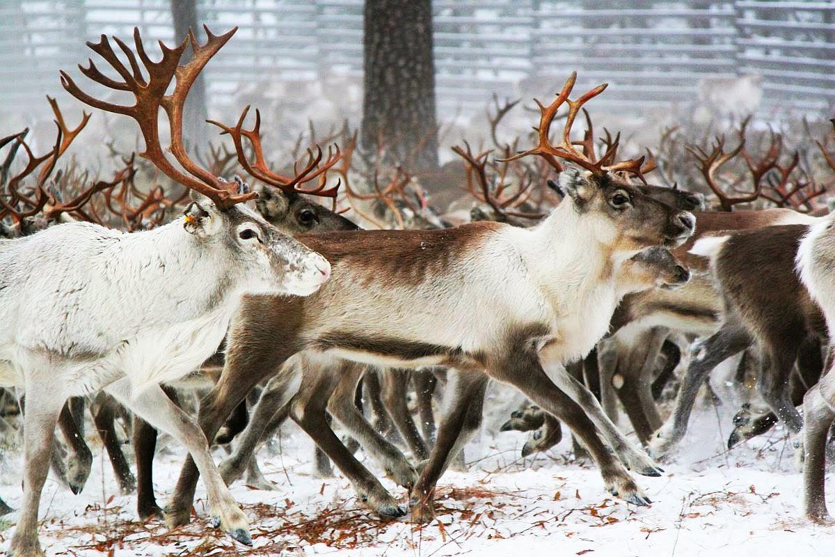 philosophy of science portal reindeer bucks