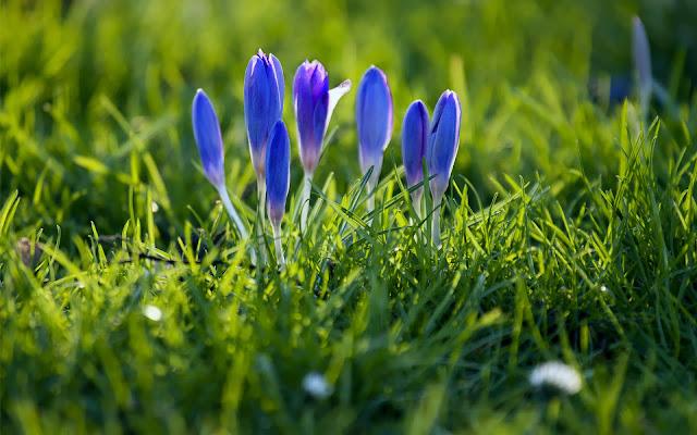 Blauwe krokussen tussen het gras