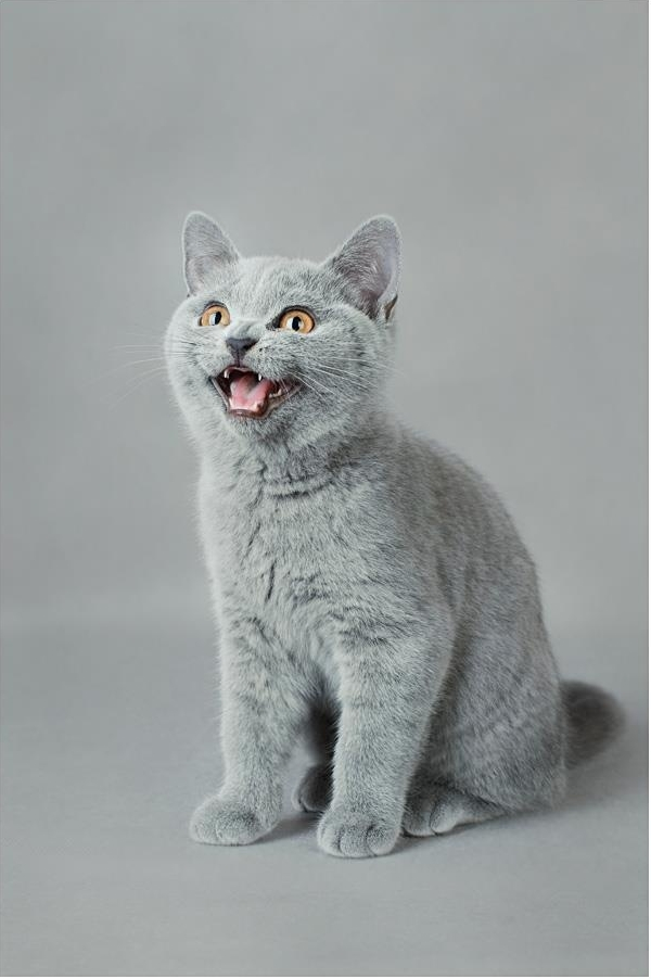 Temperament and Personality of British Shorthair Cat
