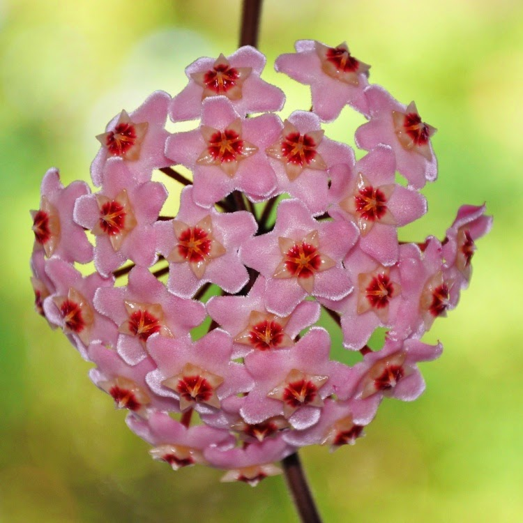 A foto em fundo verde desfocado, mostra uma Flor de Cera (Hoya carnosa) no centro de um galho fino, liso e marrom. A flor é de porte médio em forma de bouquet arredondado com aparência de flor de confeito, composto por pequenos floretes individuais padronizados em forma de estrelas rosas com o miolo em vermelho,as pétalas são unidas, carnudas e cerosas.
