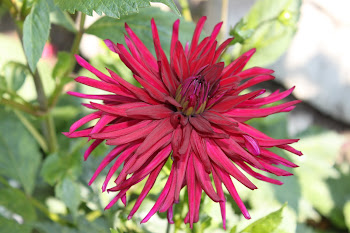 Early Dahlia