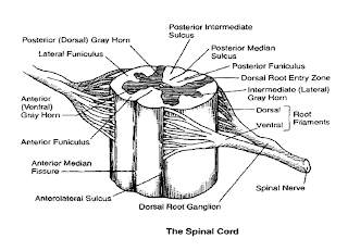 human body parts anatomy of spinal cord : spinal cord diagram quizlet - findchart.co
