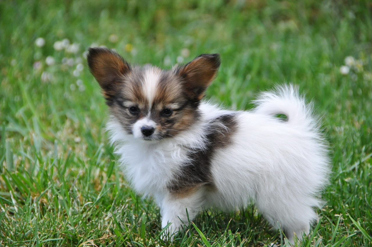 Roads End Papillons Available Papillon Puppies