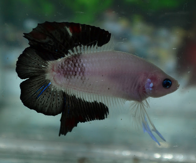 how to clean a betta fish
