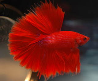Betta fish 8 type of betta fish by pattern types for Betta fish colors