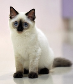 Most Popular Siamese Cat Names