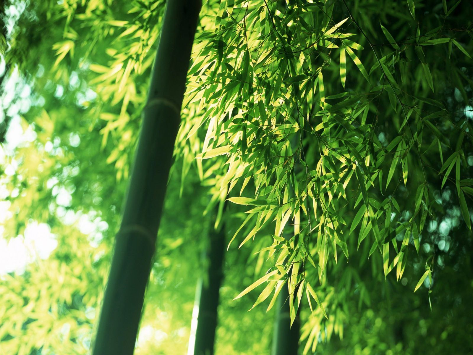 Bamboo wallpaper bamboo forest wallpapers for Bamboo wallpaper