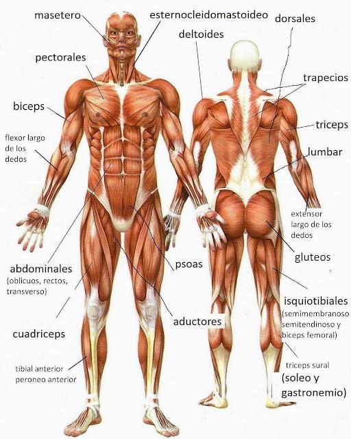 Café y cigarro: muñequito de barro.: anatomía cuerpo humano. músculos