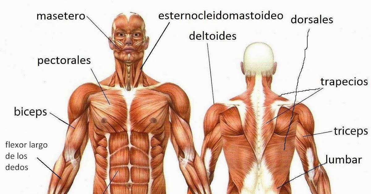 Lujo Imagen De Los Músculos Del Cuerpo Humano Embellecimiento ...