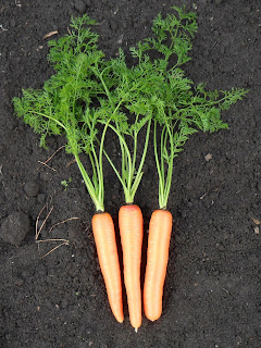 Спелая здоровая морковка