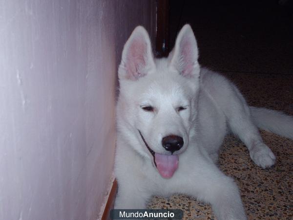lobos siberianos