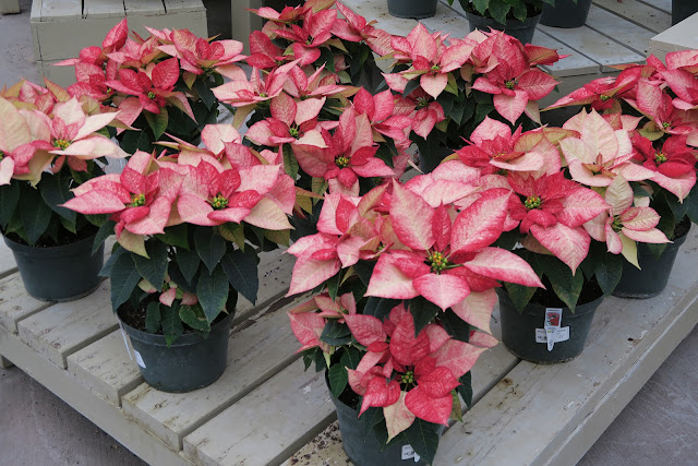 Ombre Red Poinsettias Photo