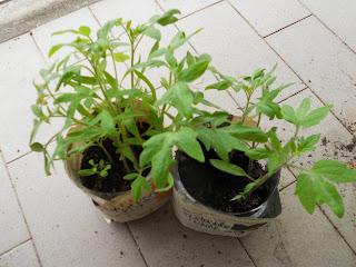 semina pomodoro