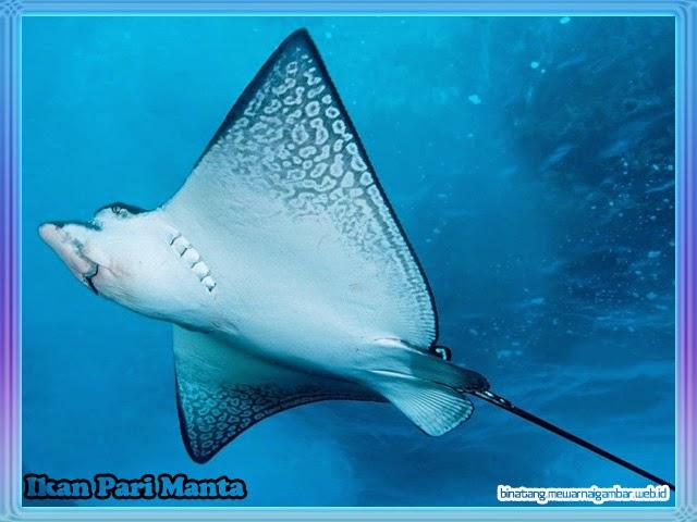 Ikan Pari Manta