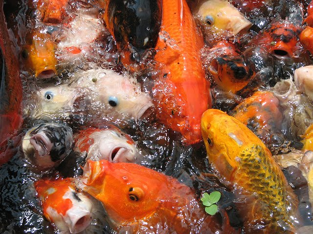 Feeding Koi Fish Pictures