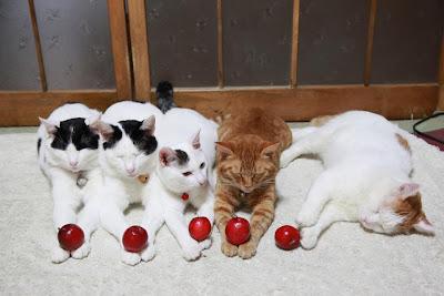 Foto Shironeko Kucing Termalas di Dunia 07