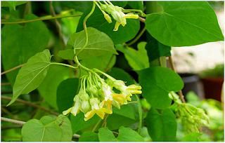 Bài thuốc chữa bệnh trĩ tận gốc từ thiên nhiên