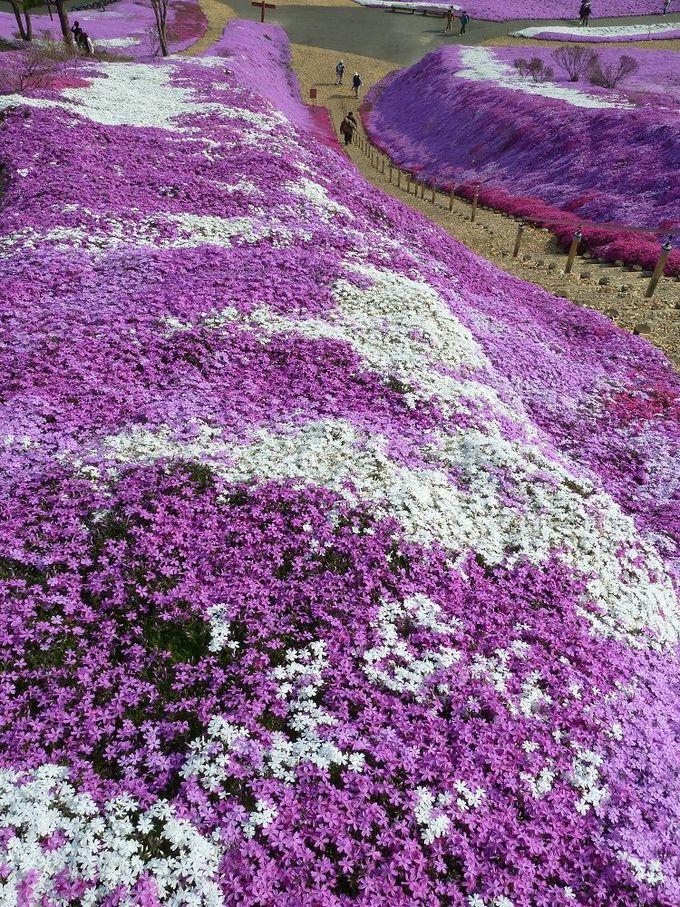 北海道大空町の芝桜公園の絶景
