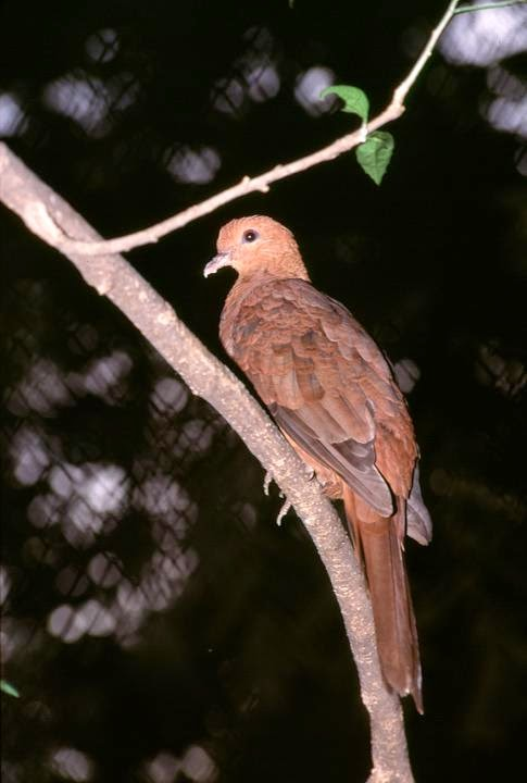 Ruddy cuckoo dove