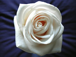White Rose Love Wallpaper