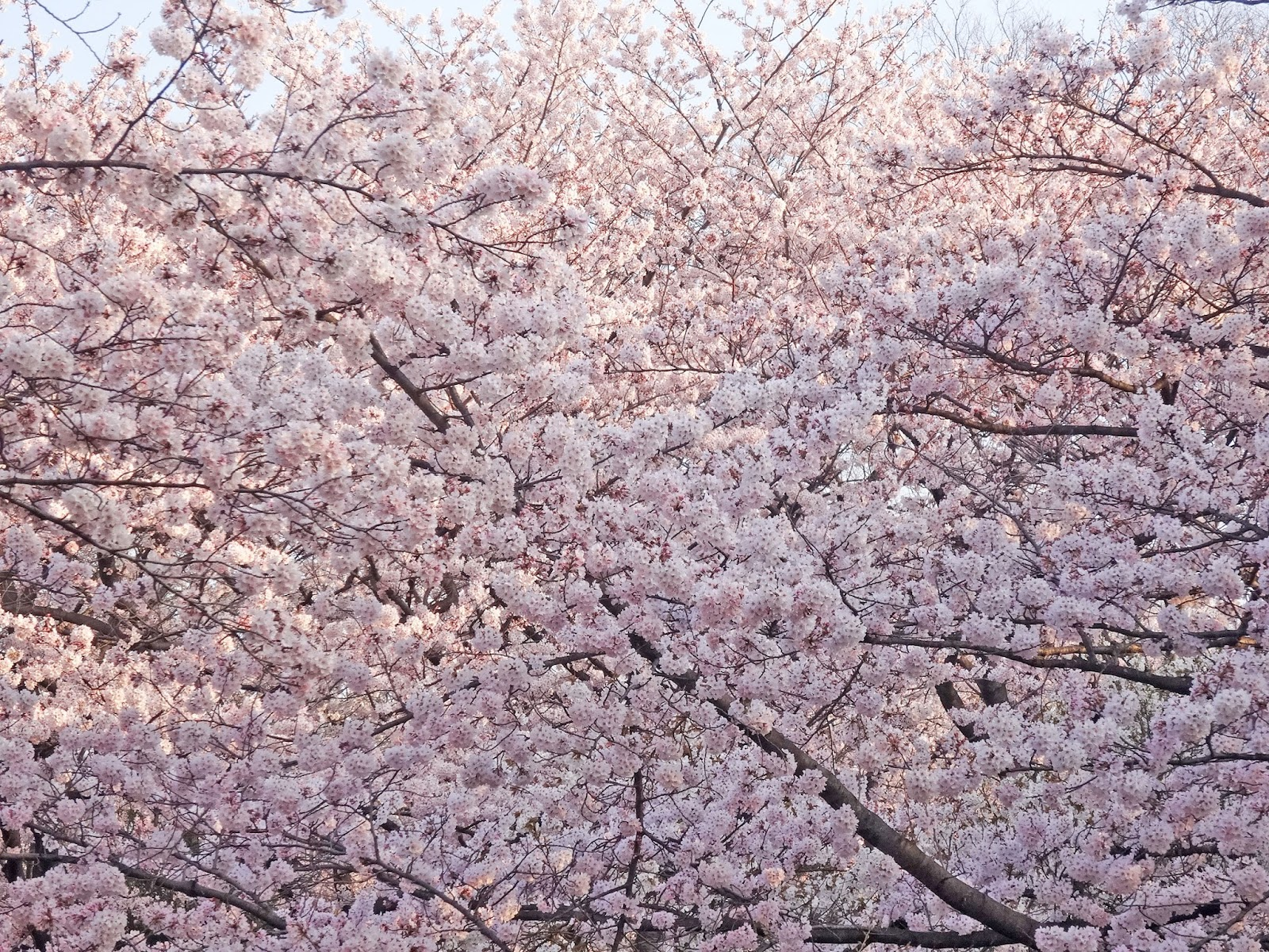代々木公園,桜,〈著作権フリー画像〉Free Stock Photos